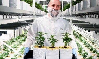 Cannerald lidera pesquisas da cannabis medicinal para encontrar a cura para diversas doenças . Foto: Divulgação
